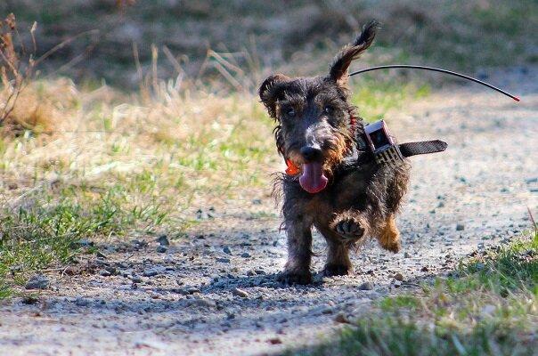 توانایی سگها در یافتن میان بر در مناطق نا آشنا کشف شد