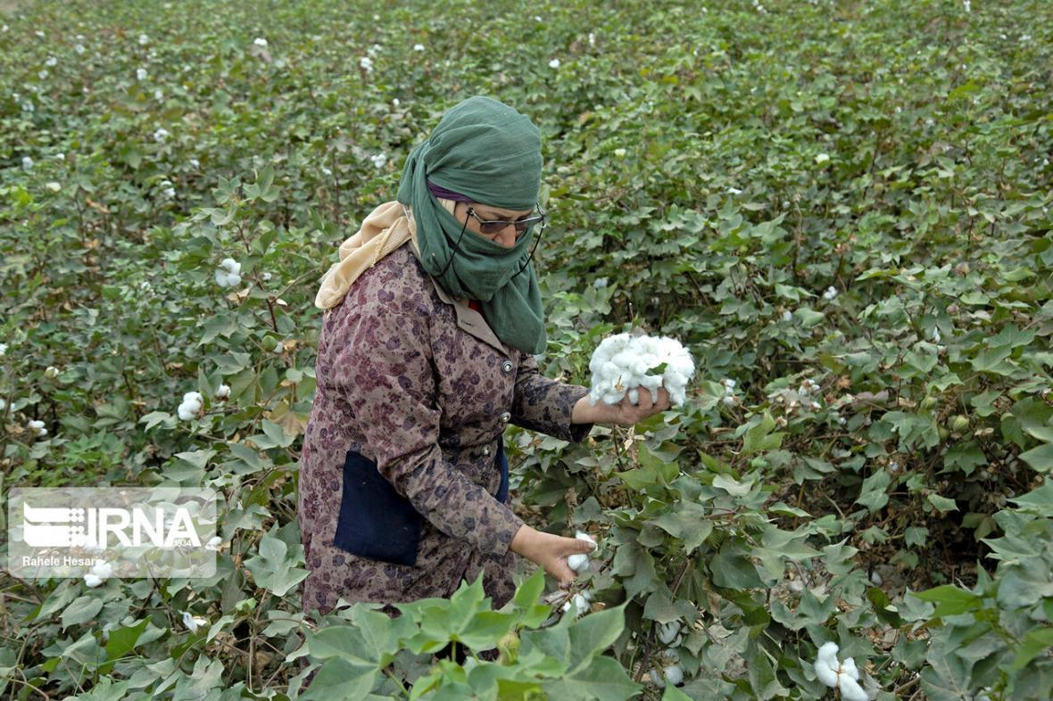 خبرنگاران خرید سه هزار تن وش پنبه از کشاورزان گلستان