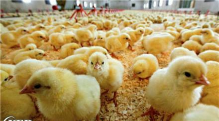 فراوری سالانه 6 میلیون قطعه جوجه یک روزه در لرستان